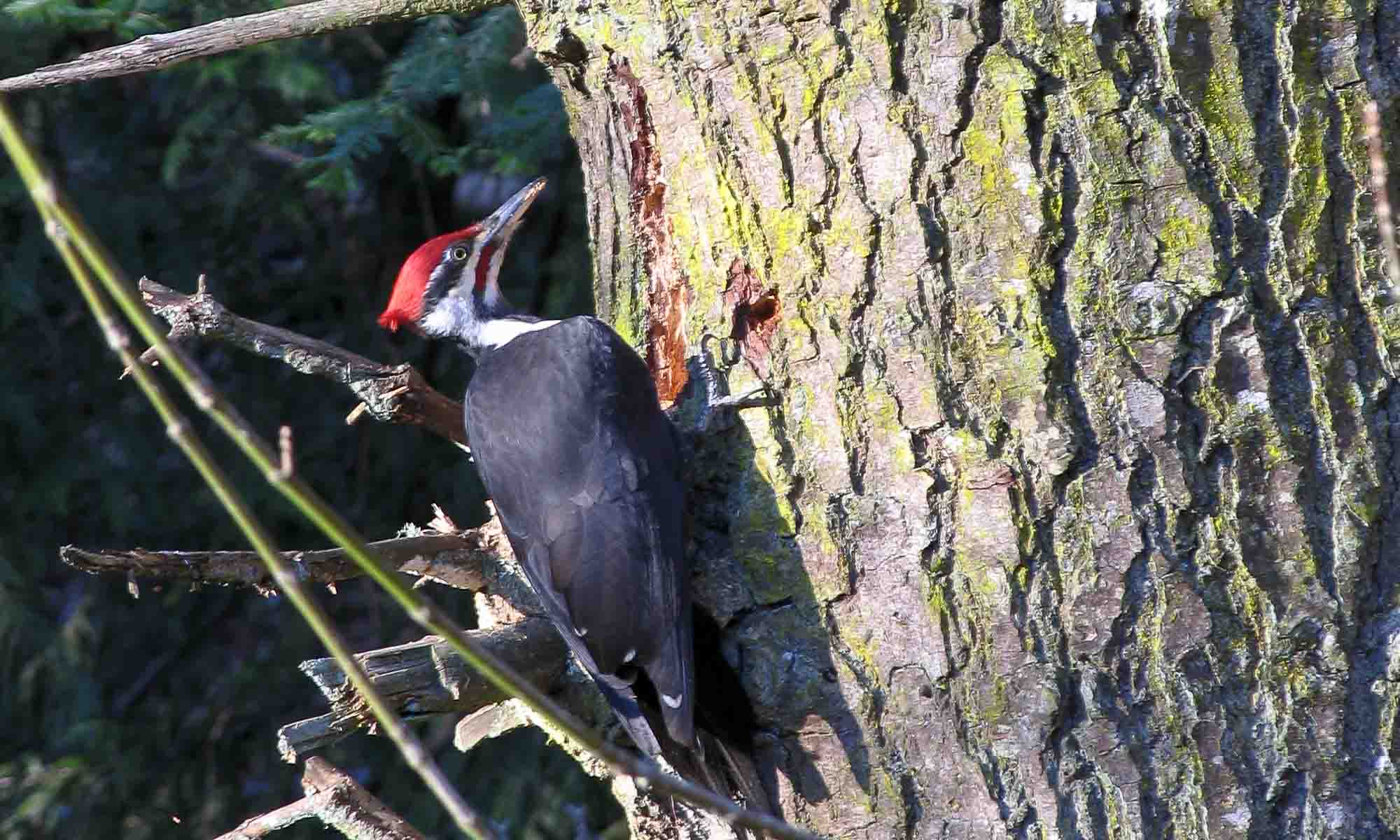 Pileated Woodpecker. Photo: Don Enright