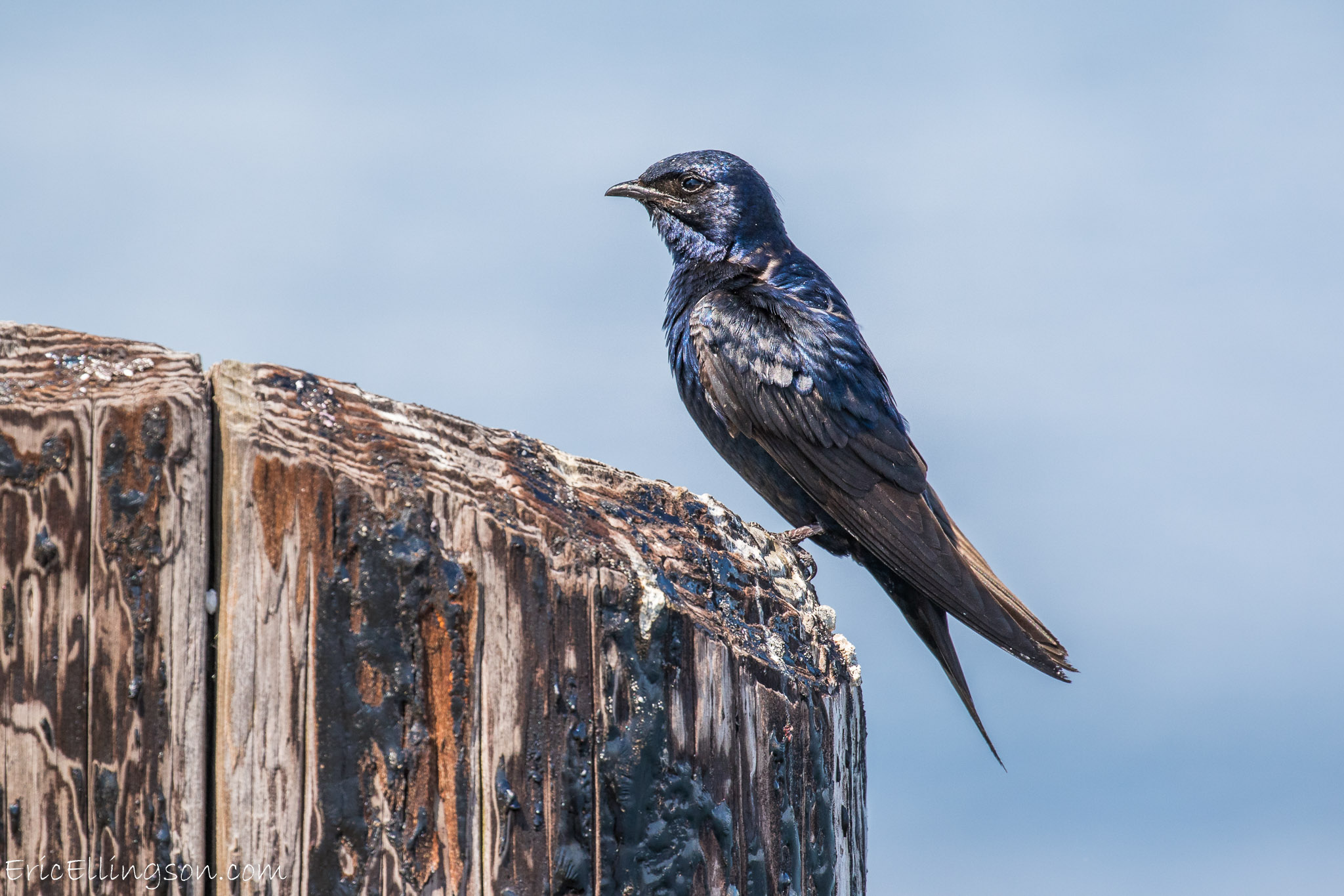 Male Purple Martin. Photo: Eric Ellingson