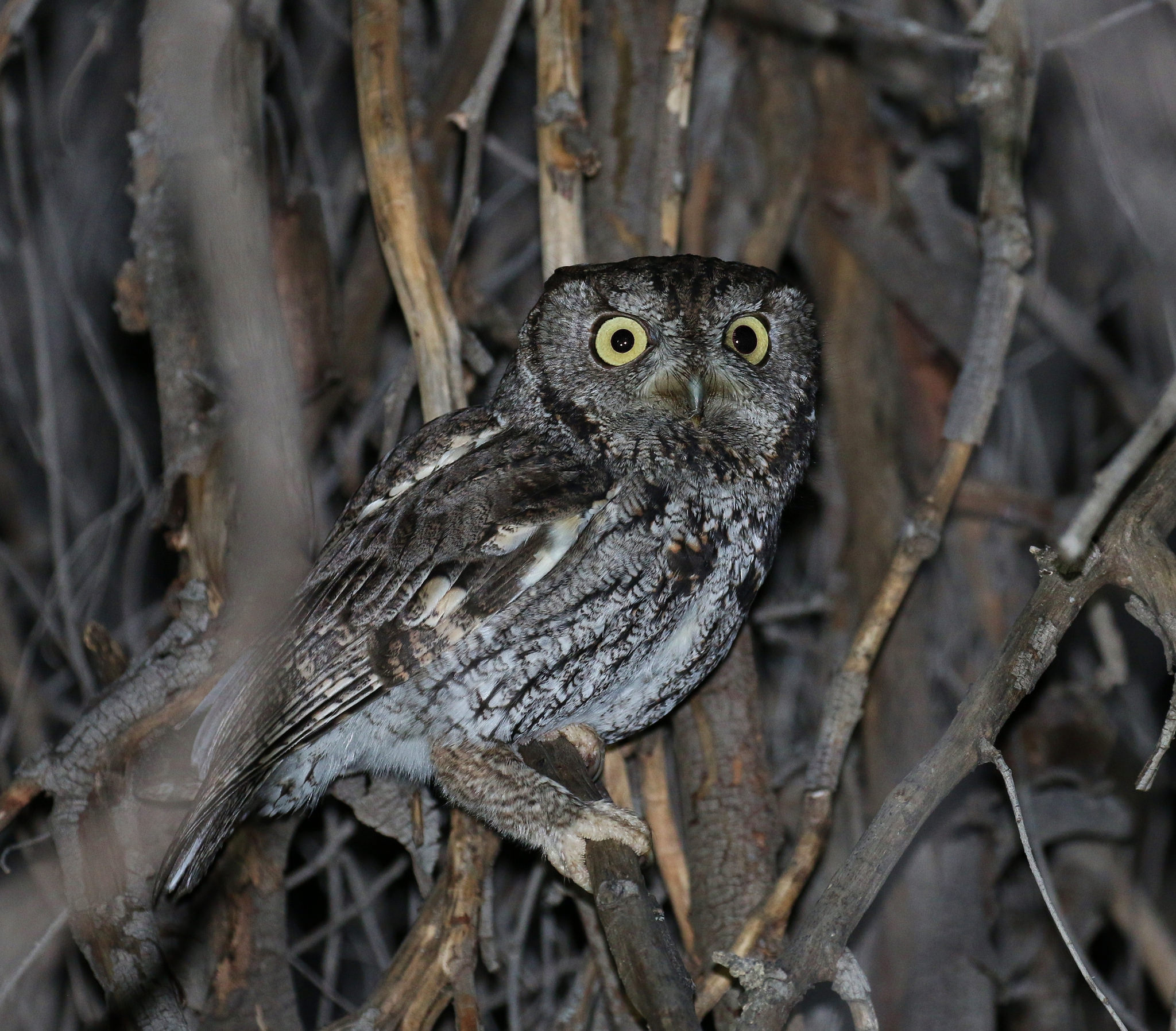Western Screech Owl. Photo: Tom Benson